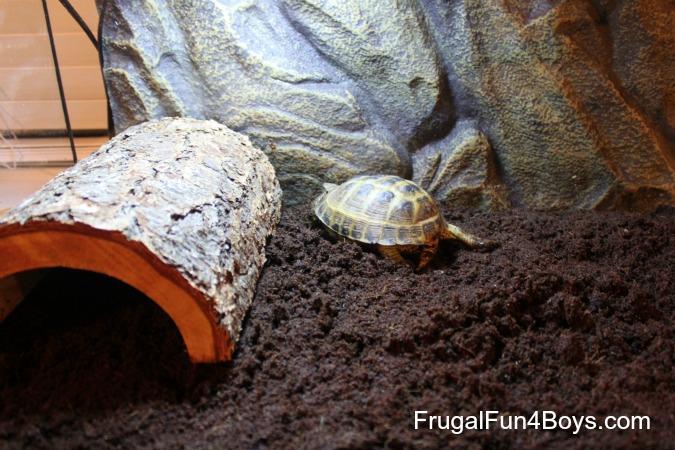 Keeping a pet Russian tortoise