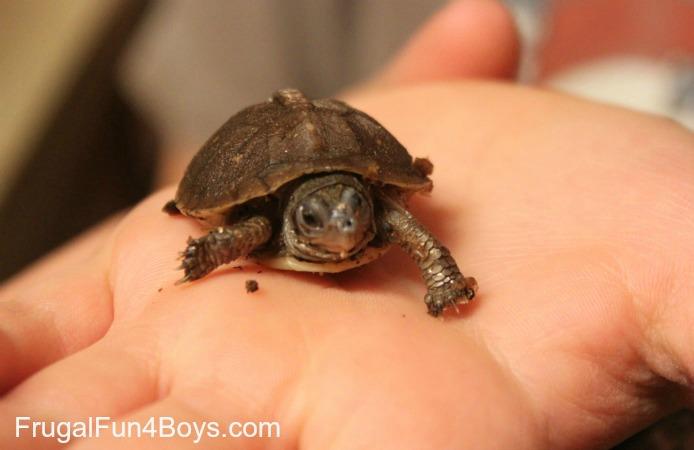 Hatchling Box Turtle